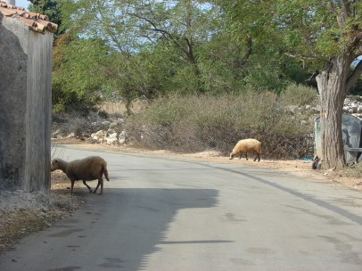Sheeps on the streets of small town Lun