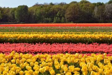 campos_de_tulipas