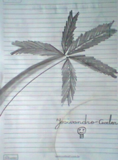 Palmeira.