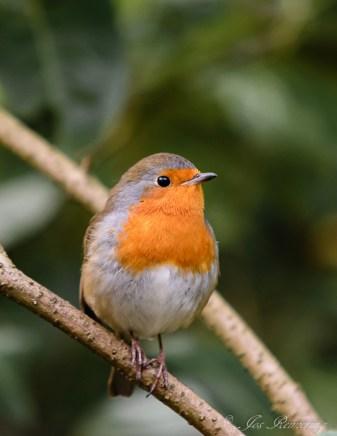 Roodborstje, Robin