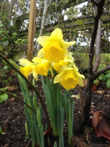Daffodils in December!