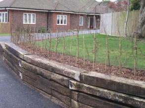 Newly planted hornbeam hedge