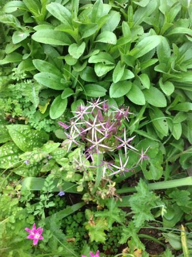 Allium 'Christophii' in the perennial border