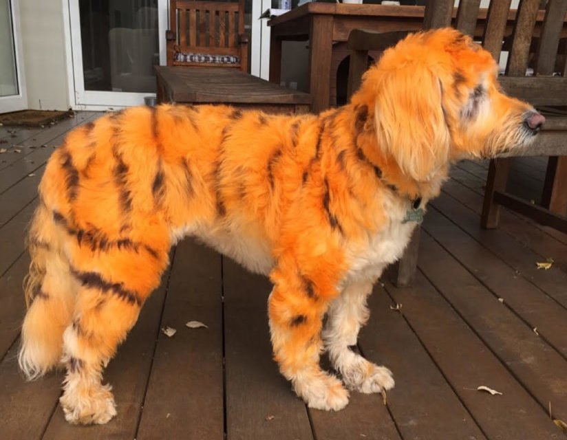 Free Hair Dye For Dogs Is It Safe For Our Pets Pooches At Play Wallpaper