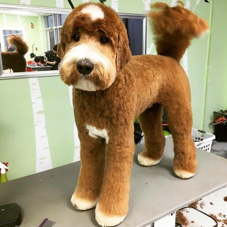 Free Best 25 Goldendoodle Haircuts Ideas On Pinterest Wallpaper