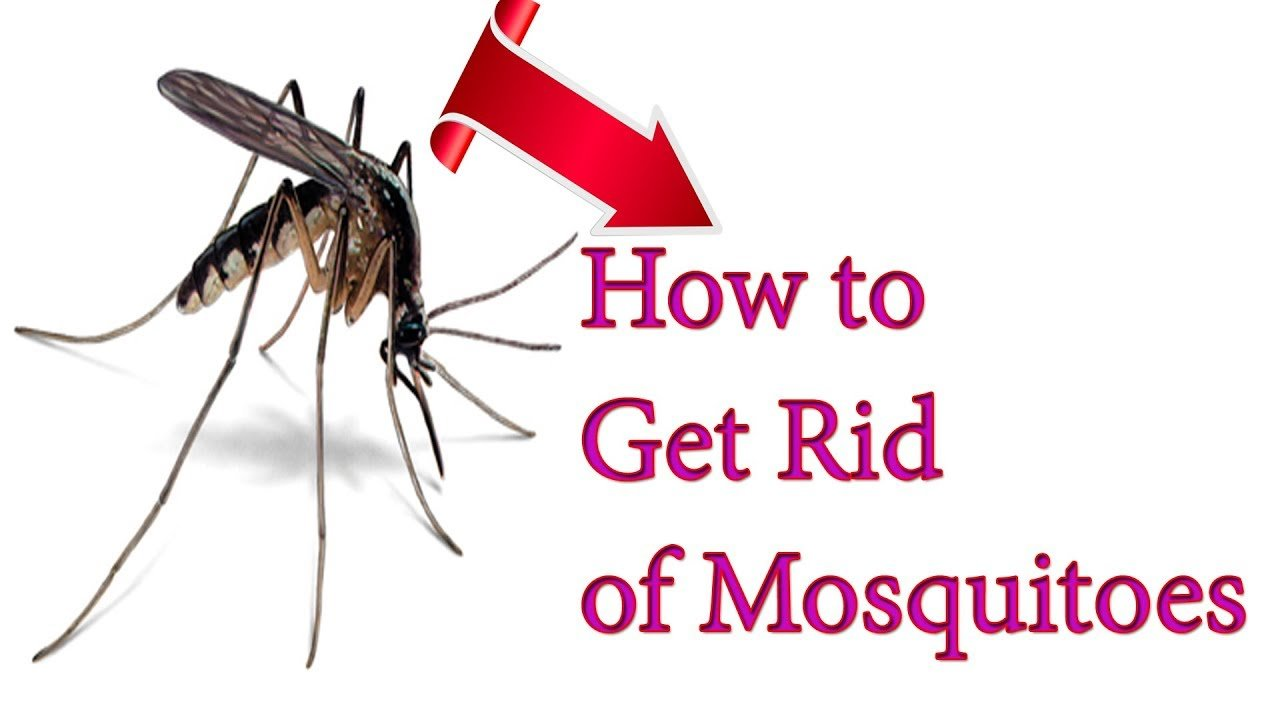Best How To Get Rid Of Mosquitoes With Home Remedies Natural With Pictures