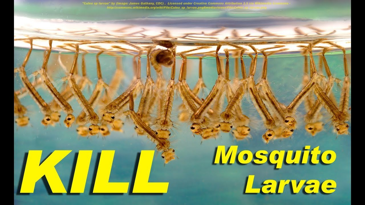 Best New K*Ll Mosquito Larvae Naturally With This Weird With Pictures