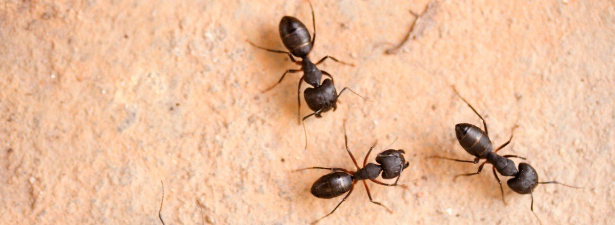 Best How To Get Rid Of Carpenter Ants In Bedroom Www With Pictures