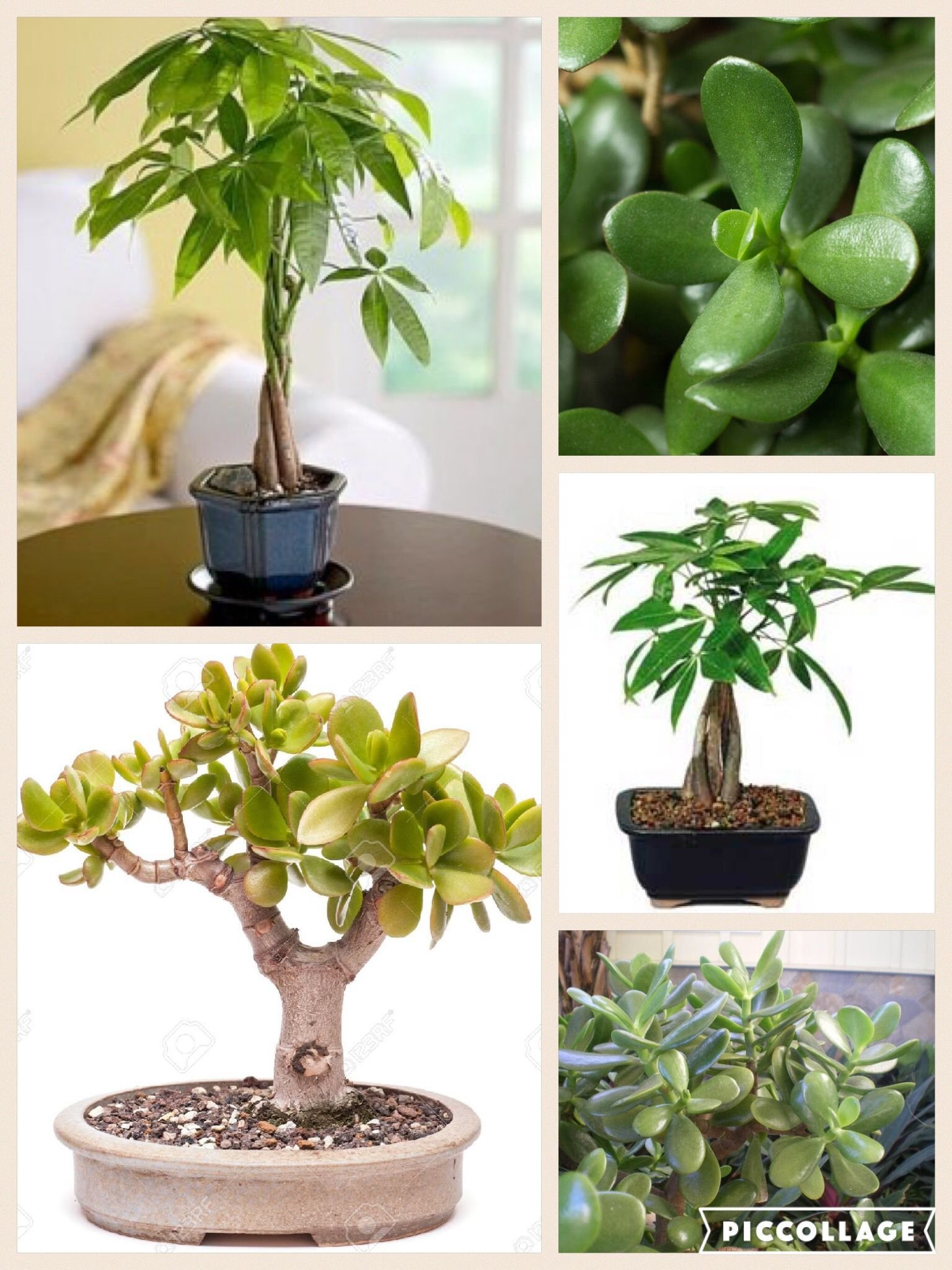 Best Money Plant Trees In Feng Shui Best To Place Them In The With Pictures