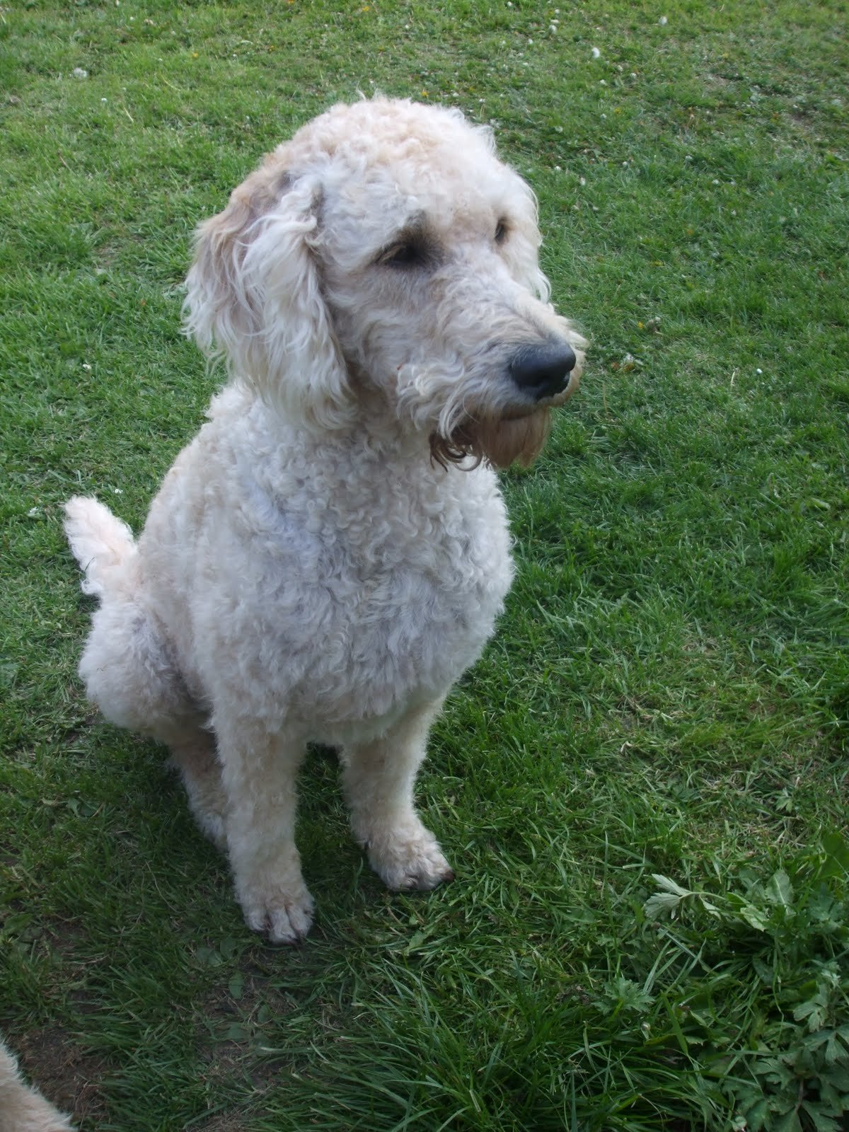Free Soon To Be Labradoodle Owner I Would Like To Clip My Own Wallpaper