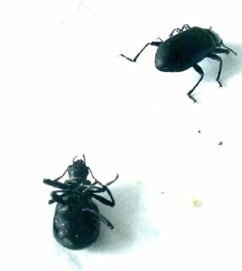 Best Little Black Beetles In My House 1500 Trend Home Design With Pictures