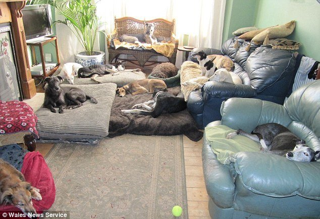 Best One Woman And Her Dog Pack Pensioner 67 Shares Her Home With 16 Large Hounds She Rescued From With Pictures