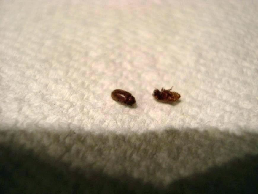 Best Little Black Bugs In My House Astounding Common Household With Pictures