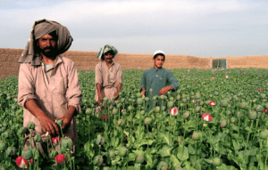 afghans in poppy fields