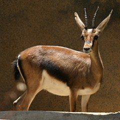 The Young and Strong Gazelle