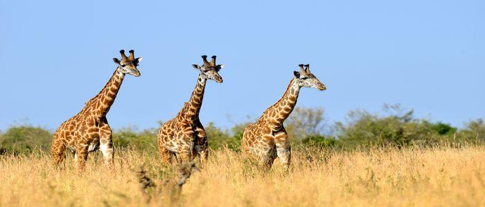 Things To Do In Kenya - Rothschild Giraffe