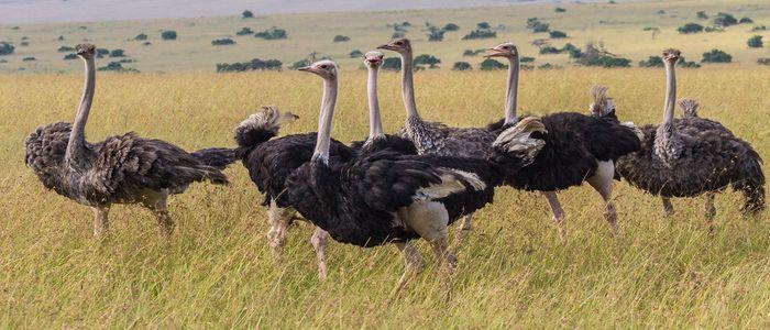 Things To Do In Kenya - Maasai Ostrich