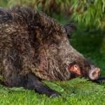 Totes Wildschwein Jagd