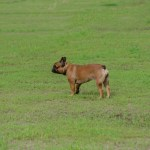 A,Dog,Of,The,French,Bulldog,Breed,Walks,In,The