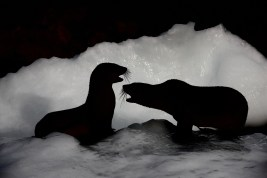 Many Antarctic fur seals concentrate their winter foraging in the waters around South Georgia. (photo Mick Mackey).