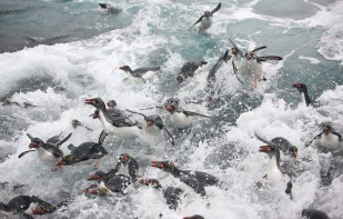 Macaroni penguins return to South Georgia in the Austral summer to breed. Some of the largest macaroni penguin colonies in the world can be found on South Georgia and its associated near-shore islands. (photo Mick Mackey).