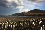 The king penguin colony at St Andrews Bay is one of the largest on South Georgia. The colony has over 100,000 birds. (photo Cat Horswill).