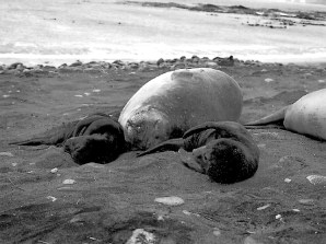 Seal mothers expend more on offspring under favourable conditions and less when resources are limited. McMahon et al. http://doi.org/10.1111/1365-2656.12611