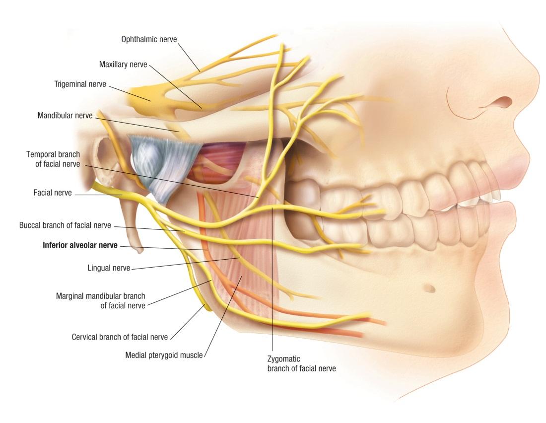 facial trigeminal nerve diagram peripheral nerves labeled emergency medicine news