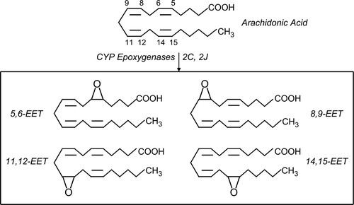 Action of epoxyeicosatrienoic acids on cellular function