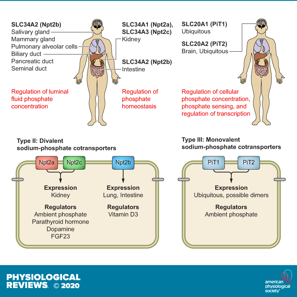 Phosphate Transport In Epithelial And Nonepithelial Tissue Physiological Reviews