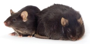 ob/ob mice, which are homozygous for a mutation the leptin gene