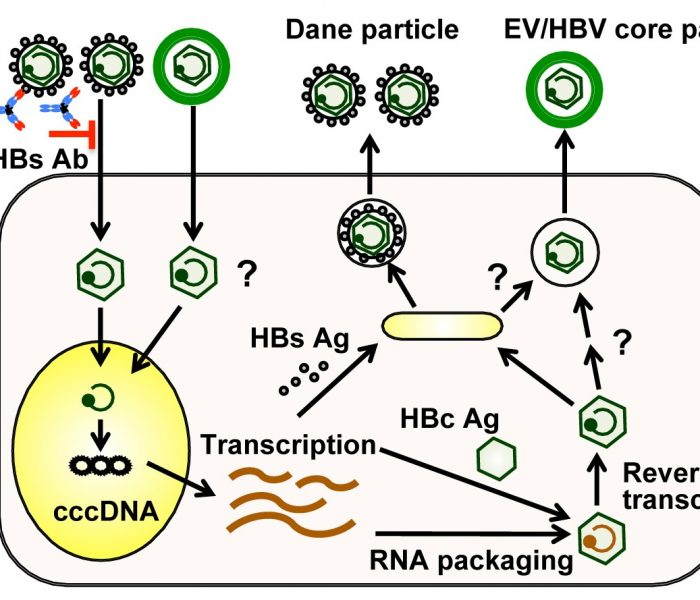 A New Pathway for Transmitting HBV DNA?