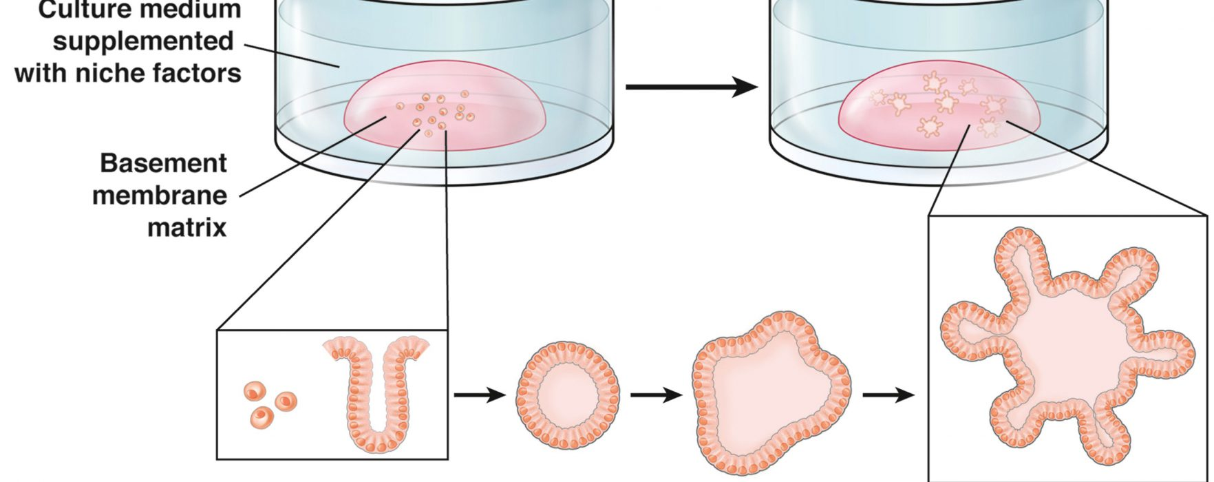 REVIEW: Combining CRISPR-Cas9 and Organoid Technologies to Study Gastrointestinal Diseases