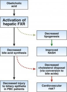 OCA activates FXR. Bile acids are the ligands for FXR; FXR activation reduces hepatocyte uptake and synthesis of bile acids while increasing their biliary secretion, to regulate the bile acid pool. OCA reduces the potentially toxic endogenous bile acid pool, which might reduce injury of the of biliary epithelium. FXR activation can also decrease lipogenesis, and therefore be used to treat patients with  nonalcoholic steatohepatitis (NASH). In patients with PBC or NASH, decreasing the synthesis of bile acids from cholesterol alters the serum pool of cholesterol , which might increase risk of cardiovascular disease.
