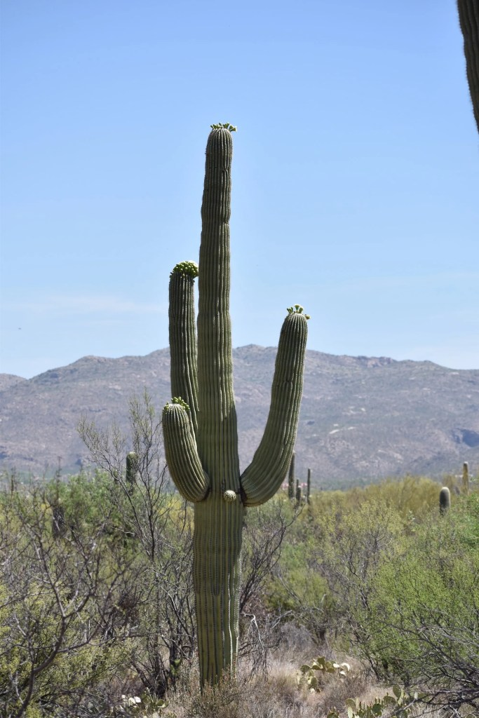 SSC0294-683x1024 Saguaro National Park: Icon of the America West