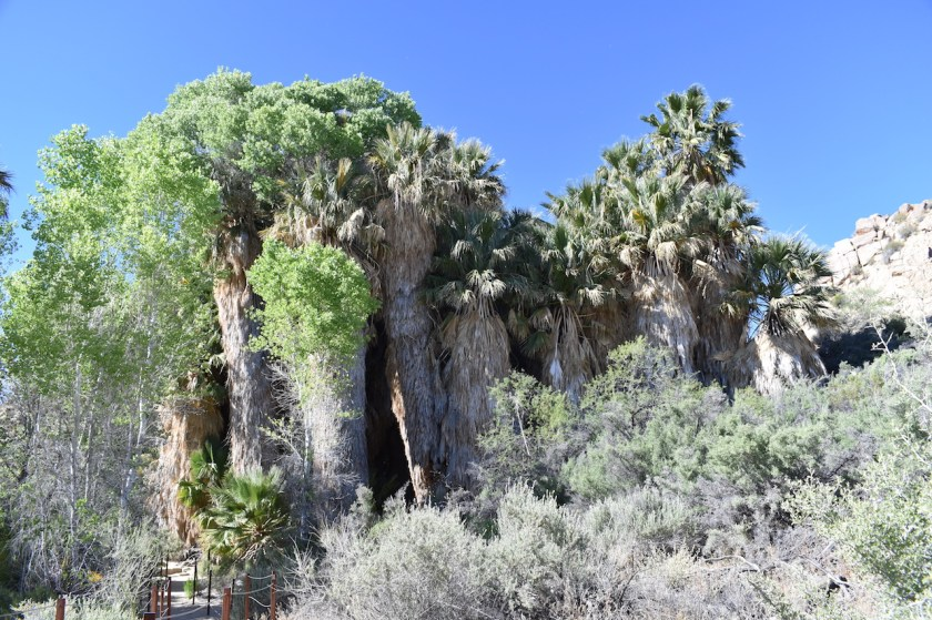 Palms-at-Cottonwood-1024x682 Joshua Tree National Park: Rock Piles and Joshua Trees