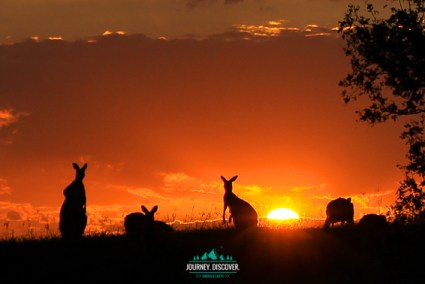 4 silhouetted kangaroos at sunset