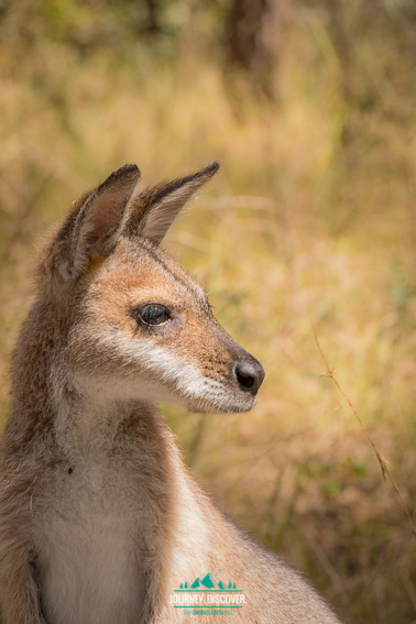 Mid Shot Of A Wallaby Looking To The Side