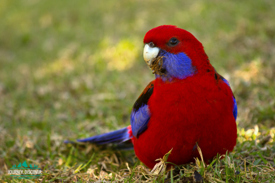 Crimson Rosella, Lamington National Park