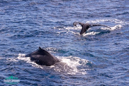One whale fin and one whale tail breaching the surface.