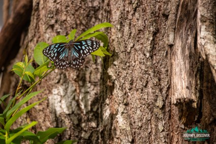 A blue tiger butterfly on a tree