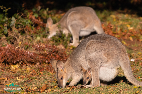 Baby And Mommy Wallaby