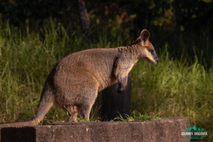 Wallaby At Burtons Well