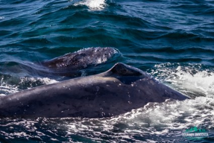 Baby whale swimming alonside mommy
