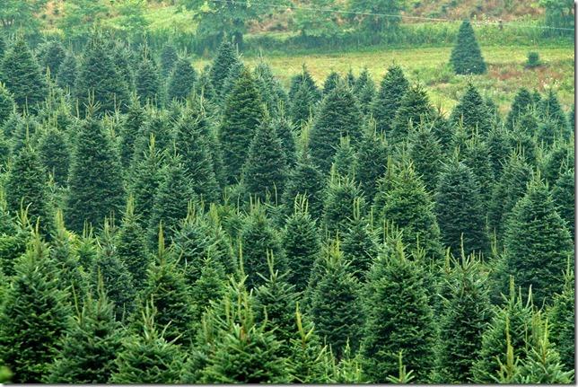 Christmas Trees 6