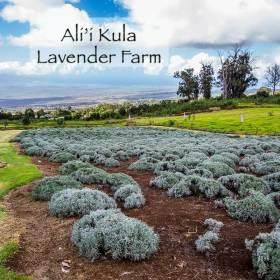 lavendarfarmbutton