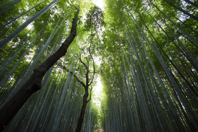 forest bamboo