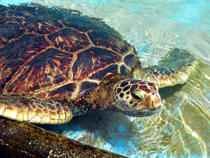Green Sea Turtle peaking out of the clear blue water