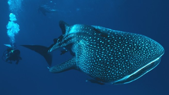 Diving with Whale Sharks at Malapascua Island