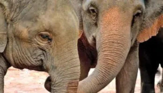 distressed elephant